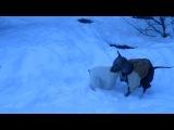 Белый цверг Еджин (6 мес) и Ксоло Викинг (5 мес) играют возле Горностая в последний день осени 2012.